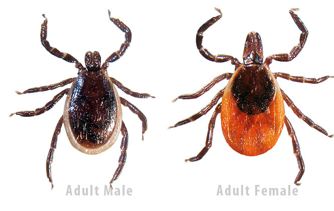 Blacklegged Ticks or Deer Ticks